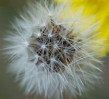 Dandelion in Alaska by Julia Haptonstahl