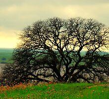 100 Years of Black Oak by davesdigis