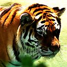Wading Tiger by shutterbug2010