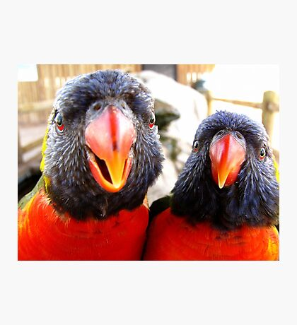 Rainbow Lorikeets ~ All beak & In your Face! Photographic Print
