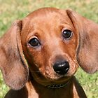 Dachshund Puppy by Jenny Brice