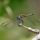 Pachydiplax longipennis ~ Blue Dasher~Female by Bonnie Robert