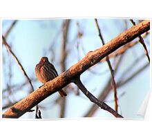 Female House Finch Poster