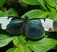 Sapho Longwing by PatGoltz