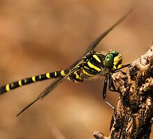 Golden-Ringed Dragonfly by Paul Ritchie