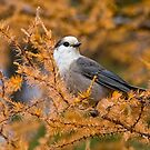 Gray Jay by Michael Cummings