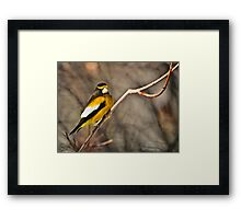 Male Evening Grosbeak Framed Print