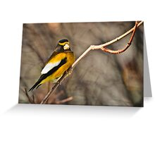 Male Evening Grosbeak Greeting Card