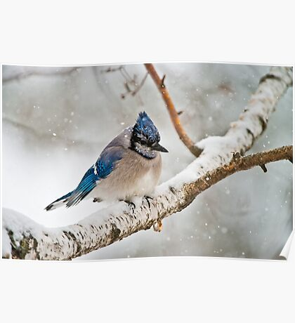 Blue Jay In Spring Poster