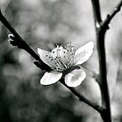 Blooming White Light by Jen Waltmon
