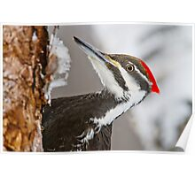 Pileated Woodpecker Poster