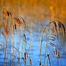 Reeds  by  the  lake by EUNAN SWEENEY