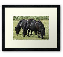 Shetland Mares Framed Print