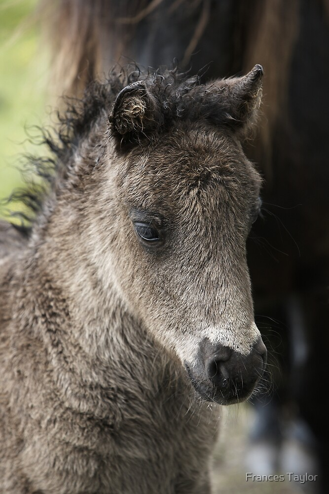 Foal by Frances Taylor