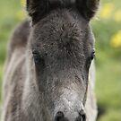 Shetland Foal by Frances Taylor