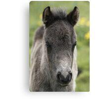 Shetland Foal Canvas Print