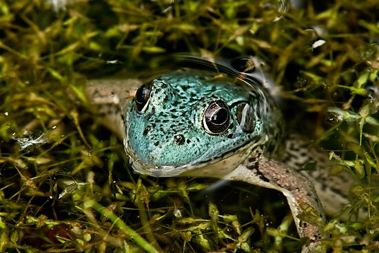 Green Frog (Blue Variant) by Michael Cummings