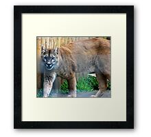 Cool cougar Framed Print