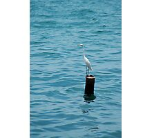 Eastern Great White Egret Standing on a Post in the Ocean Photographic Print