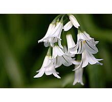Galanthus nivalis Photographic Print