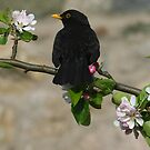 Mr Blackbird by christopher363
