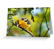 Musing Baltimore Oriole Greeting Card
