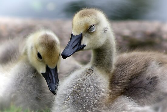 Sleepy Goslings by Teresa Zieba