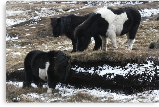 Shetlands and Snow by Frances Taylor