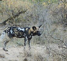 African Wild Dog 2 - Wild Afrika by WildAfrika