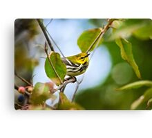 Black Throated Green Warbler Canvas Print