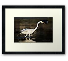 Ardea Alba - Great White Egret Looking For Fish In Porpoise Channel - Stony Brook, New York Framed Print