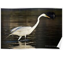 Ardea Alba - Great White Egret Looking For Fish In Porpoise Channel - Stony Brook, New York Poster