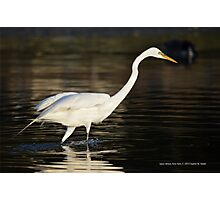 Ardea Alba - Great White Egret Looking For Fish In Porpoise Channel - Stony Brook, New York Photographic Print