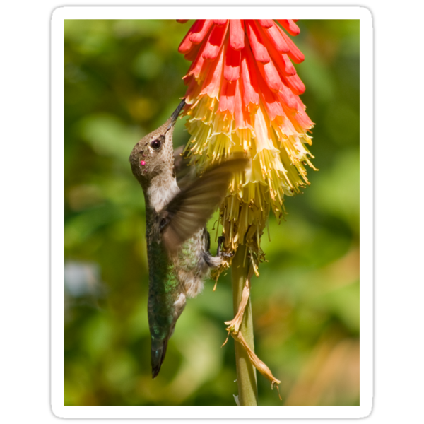Rufous Hummingbird on Red Hot Poker T-Shirt by Diana Graves Photography