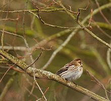 Reed Bunting on Tree by kernuak