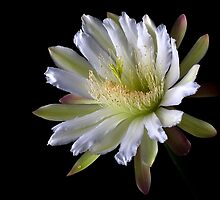 Night Blooming Cereus by Endre
