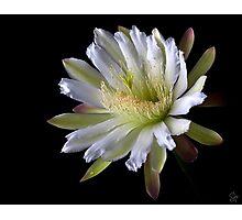 Night Blooming Cereus Photographic Print