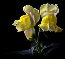 Snapdragons by Endre