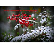 Holly Berries covered in snow.  Photographic Print