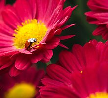 Little Red Ladybug by Christina Rollo