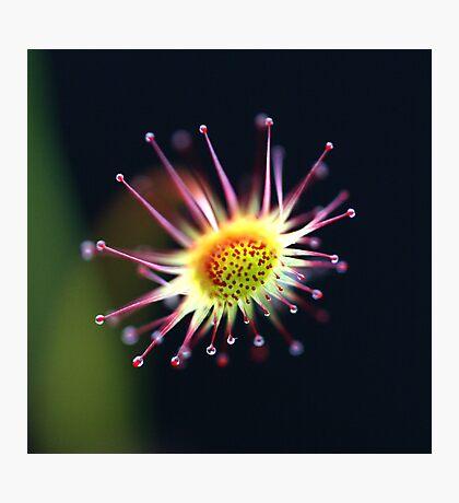 Honeydew Photographic Print
