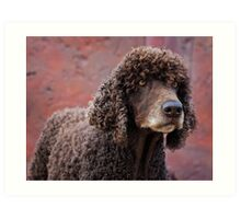 Irish Water Spaniel Art Print