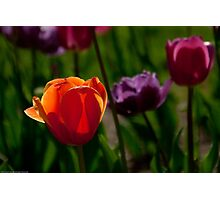 Colors of Tulips Photographic Print