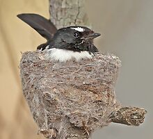 Nesting Willy Wagtail by Seesee