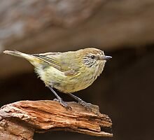 Striated Thornbill on stump 2 by Seesee