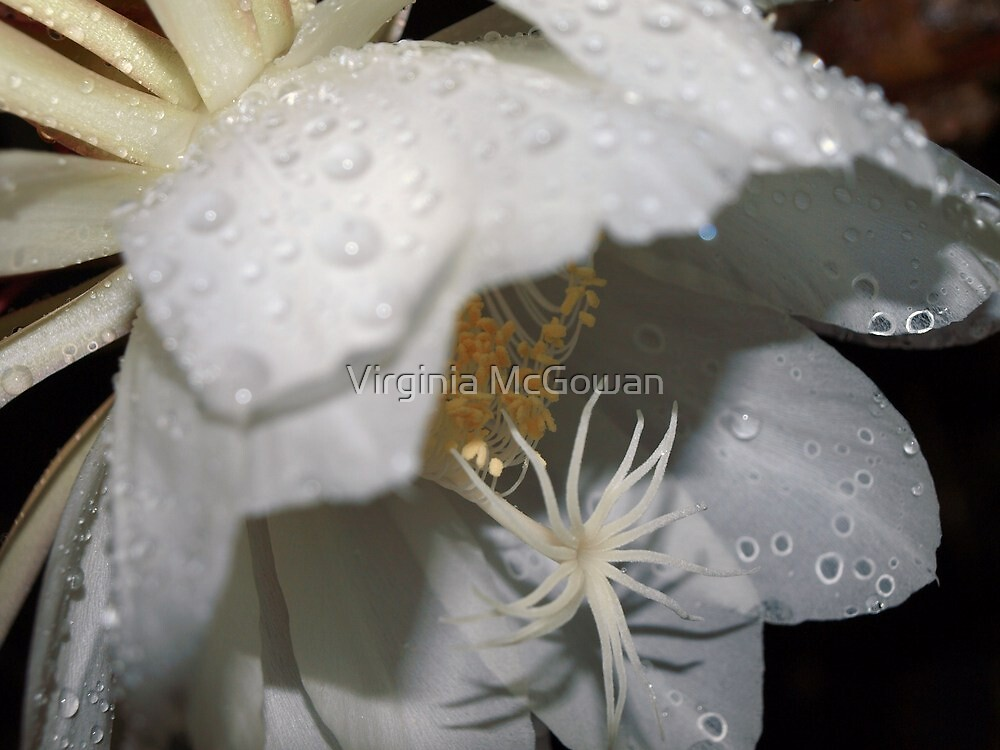Midnight Cerius Cactus  with raindrops by Virginia McGowan