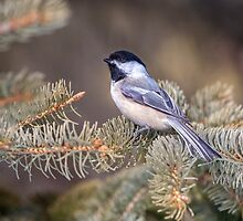 Black-capped Chickadee II by PhotosByHealy