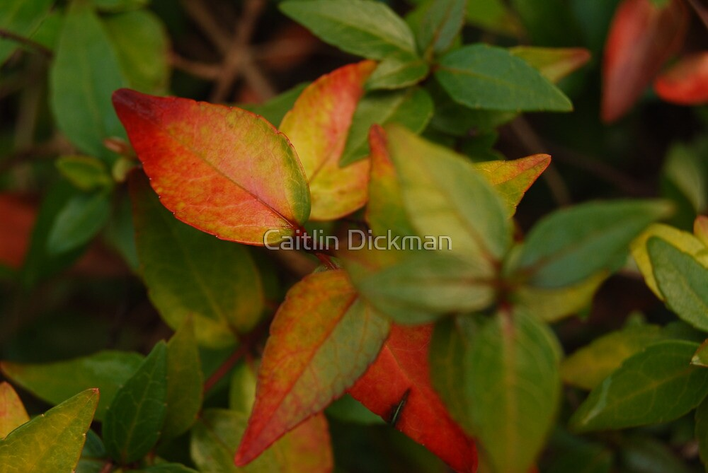 Citrus leaves by Caitlin Dickman