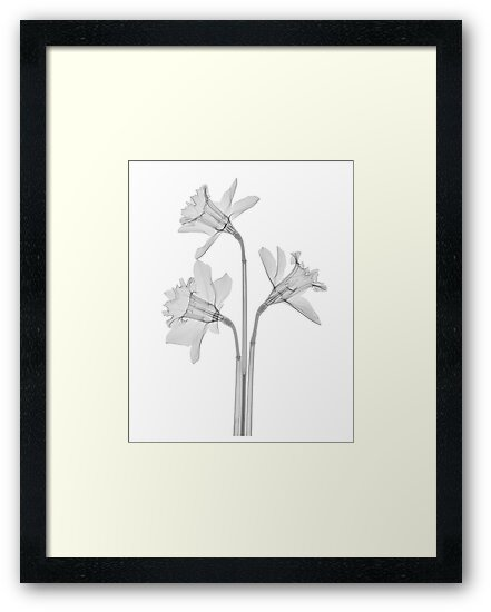 B&W Dafodils by Paul CESSFORD
