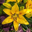 Hemerocallis by PhotosByHealy